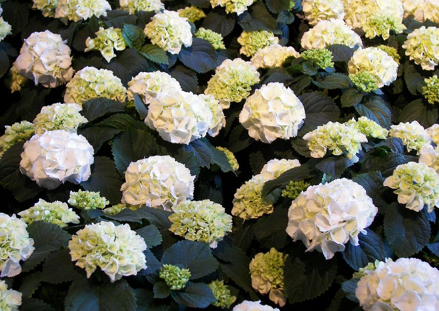 floristik ausstellung hydrangea macrophylla schneeball weiss hortensien. Black Bedroom Furniture Sets. Home Design Ideas