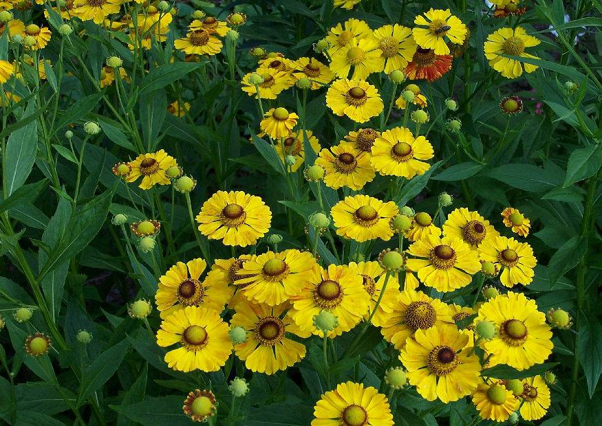 helenium hybriden sonnenbraut robuster bl hende stauden august september schnittblumen. Black Bedroom Furniture Sets. Home Design Ideas