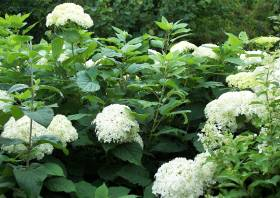 hortensien pflege schneiden hydrangea macrophylla gartenhortensie bzw bauernhortensie. Black Bedroom Furniture Sets. Home Design Ideas
