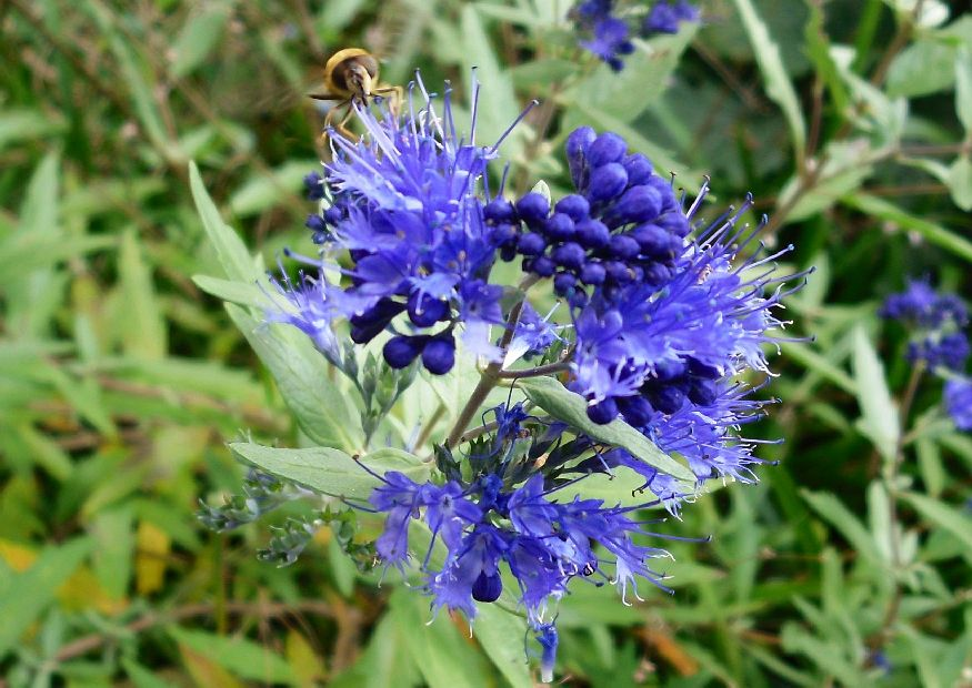 caryopteris clandonensis bartblume blaue bl ten im herbst. Black Bedroom Furniture Sets. Home Design Ideas