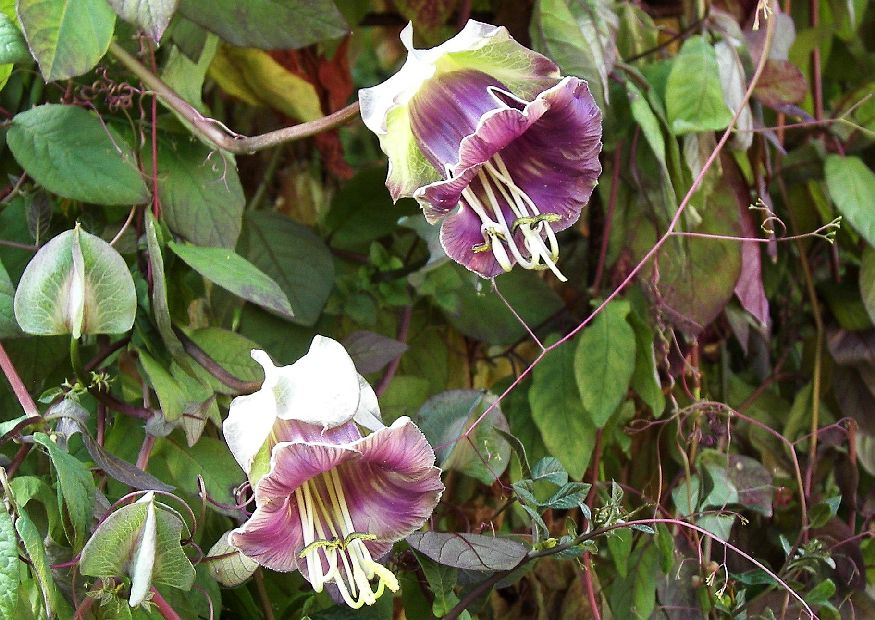 cobaea scandens 39 violette glocke 39 glockenrebe krallenwinde einj hrige kletterpflanze nicht. Black Bedroom Furniture Sets. Home Design Ideas