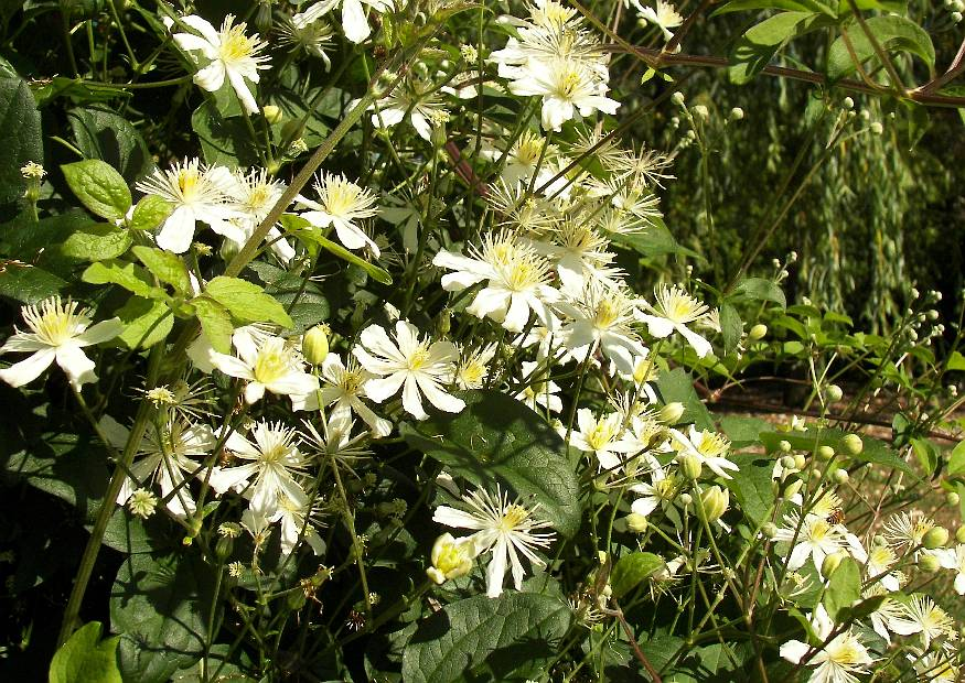 clematis fargesioides 39 paul farges 39 auch 39 summersnow 39 oder. Black Bedroom Furniture Sets. Home Design Ideas