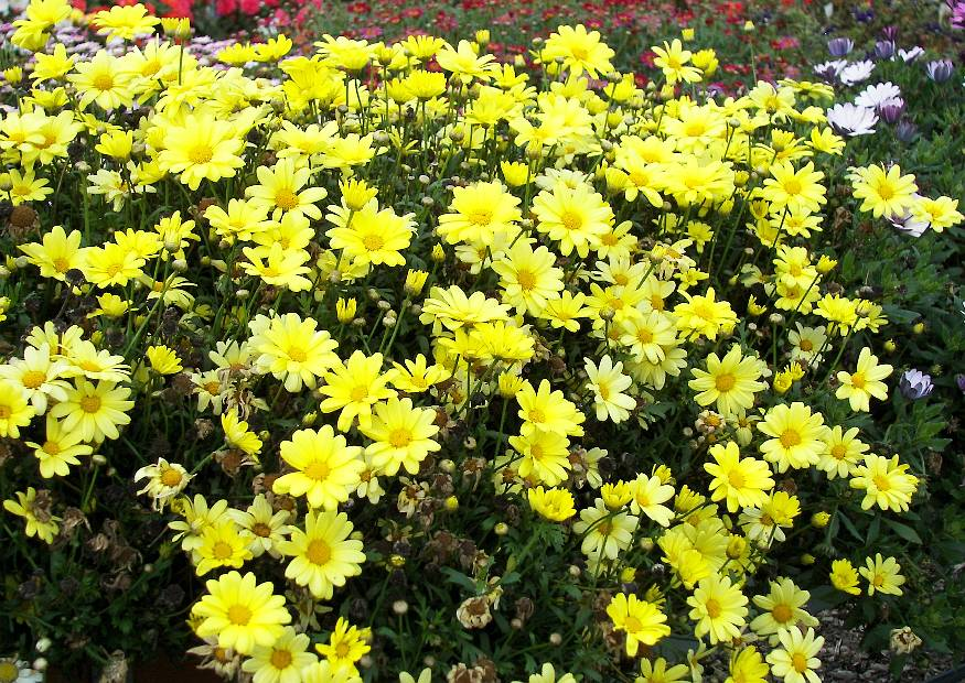 balkonblumen argyranthemum frutescens beauty yellow gelbe strauchmagerite berwinterung. Black Bedroom Furniture Sets. Home Design Ideas