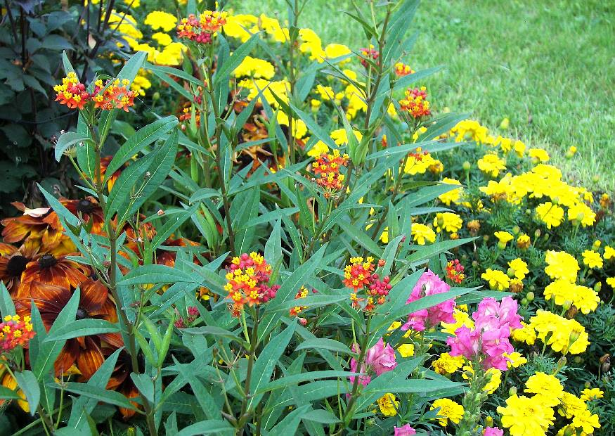 lantana cabara 39 simon yellow 39 wandelr schen in der blumenrabatte laga sachsen reichenbach vogtland. Black Bedroom Furniture Sets. Home Design Ideas