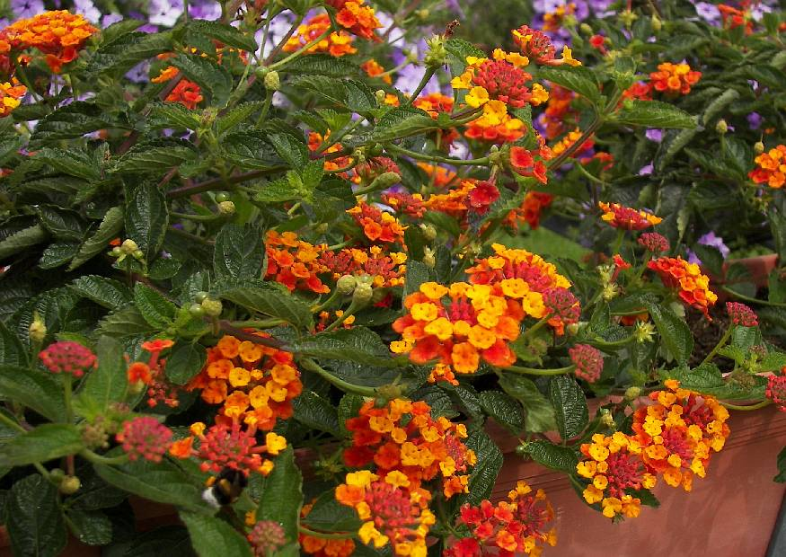 lantana camara 07 wandelr schen sorte professor raoux orange balkonblumen 2008 07. Black Bedroom Furniture Sets. Home Design Ideas