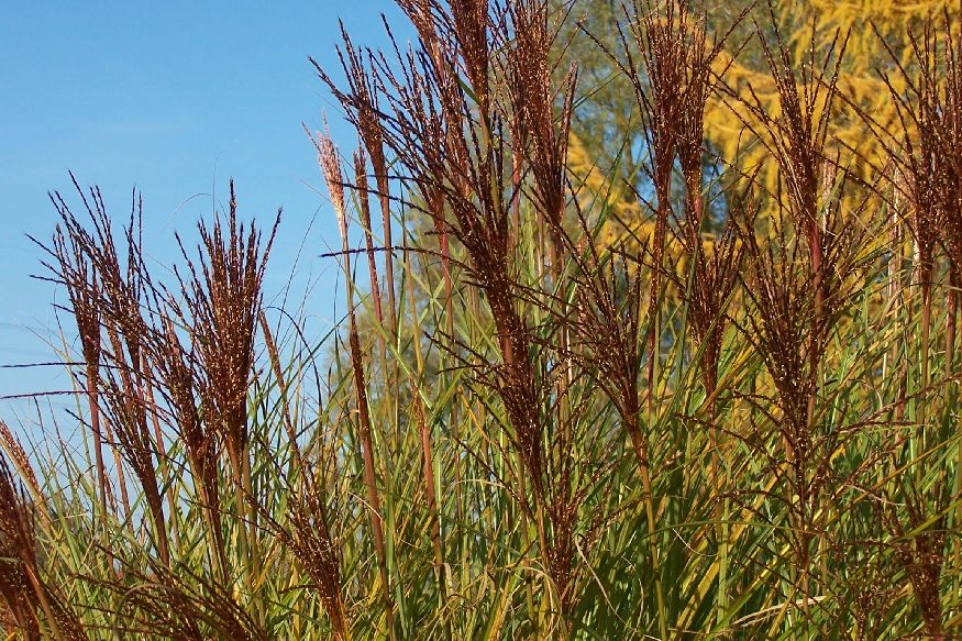 miscanthus sinensis 39 gracillius 39 garten chinaschilf im. Black Bedroom Furniture Sets. Home Design Ideas