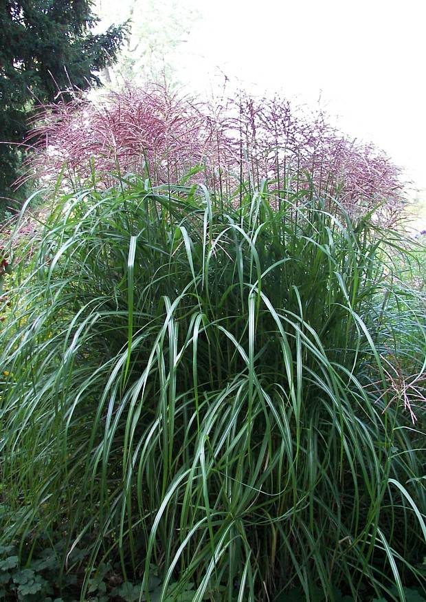 miscanthus sinensis 39 malepartus 39 in sommerlicher bl te chinaschilf sichtschutzpflanze. Black Bedroom Furniture Sets. Home Design Ideas