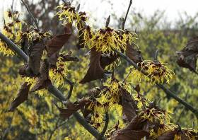 Hamamelis Intermedia Hans Kammeyer Zaubernuss