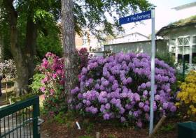 violetter Rhododendron