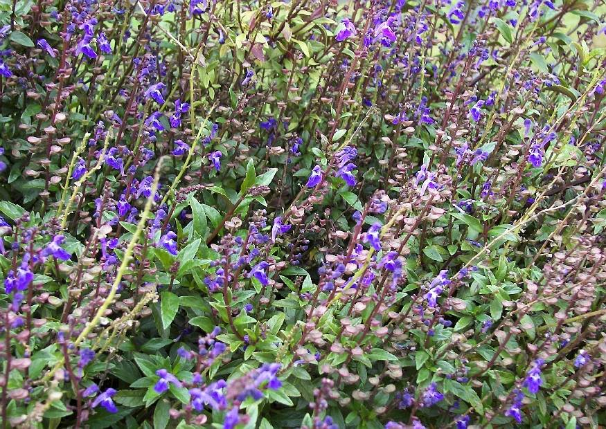 scutellaria 39 blue tonic 39 auch 39 summerblue 39 helmkraut blaue sommerblume garten balkon terrasse. Black Bedroom Furniture Sets. Home Design Ideas