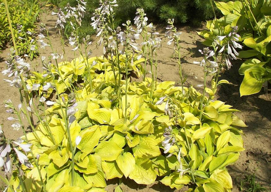 hosta hybride 39 august moon 39 funkie. Black Bedroom Furniture Sets. Home Design Ideas
