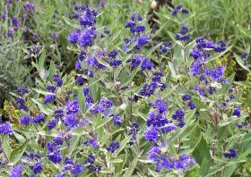 winterharter zierstrauch caryopteris clandonensis 39 kew blue 39 bartblume. Black Bedroom Furniture Sets. Home Design Ideas