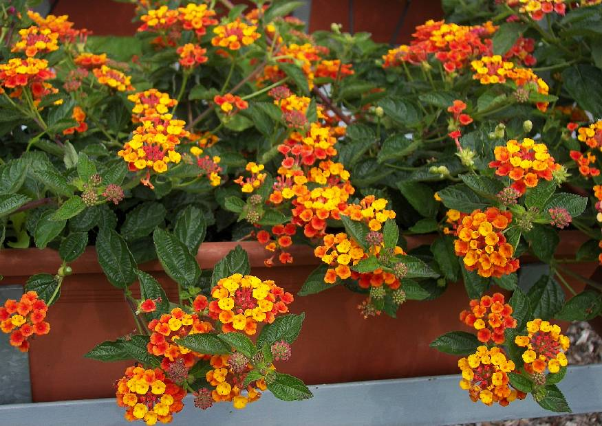 lantana camara 13 wandelr schen sorte oranje king orange balkonblume 2008 07. Black Bedroom Furniture Sets. Home Design Ideas
