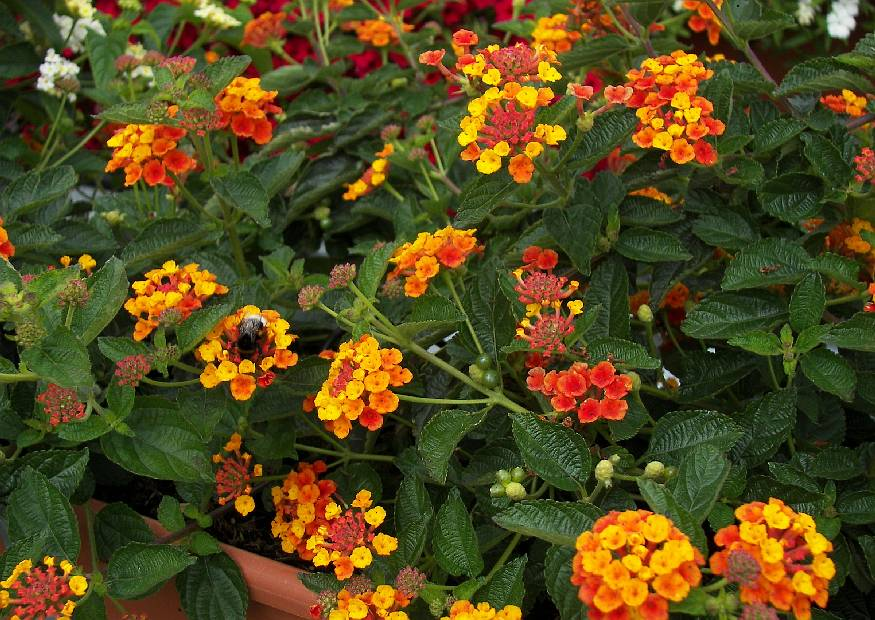 lantana camara 15 wandelr schen sorte oranje juice orange flache balkonblume 2008 07. Black Bedroom Furniture Sets. Home Design Ideas
