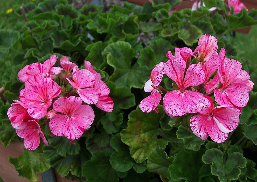pelargonium cultivars 12 zonalegruppe pelfi avenida mosaic. Black Bedroom Furniture Sets. Home Design Ideas