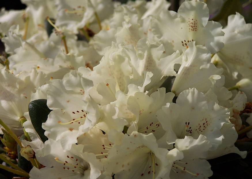 rhododendron yakushimanum hybriden marietta weisser gartenrhododendron. Black Bedroom Furniture Sets. Home Design Ideas