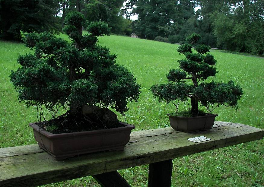 juniperus chinensis chinesischer wacholder als bonsai. Black Bedroom Furniture Sets. Home Design Ideas