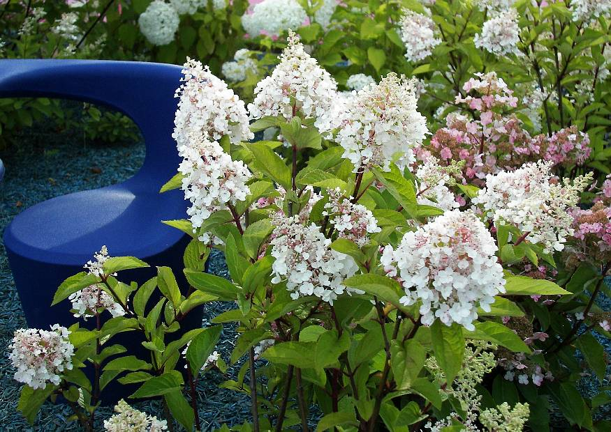 hydrangea paniculata phantom rispenhortensie. Black Bedroom Furniture Sets. Home Design Ideas