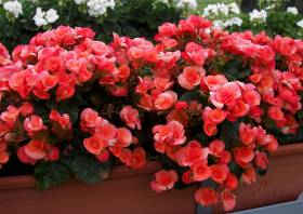 elatior begonien 01 britt dark begonia cultivars rotorange begonie. Black Bedroom Furniture Sets. Home Design Ideas