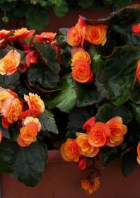 elatior begonien 07 catrin begonia cultivars gef llte orange begonie. Black Bedroom Furniture Sets. Home Design Ideas