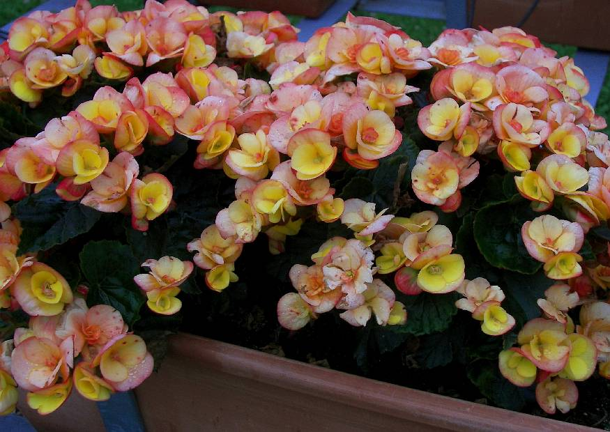 elatior begonien 23 eva begonia cultivars orange zimmerbegonien. Black Bedroom Furniture Sets. Home Design Ideas