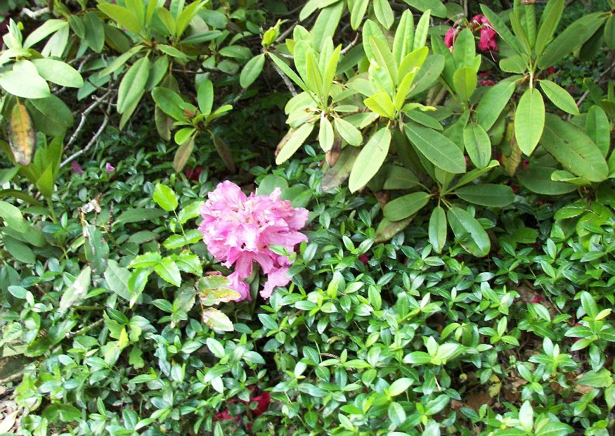 vinca minor immergr n bodendecker unterpflanzung von rhododendron. Black Bedroom Furniture Sets. Home Design Ideas