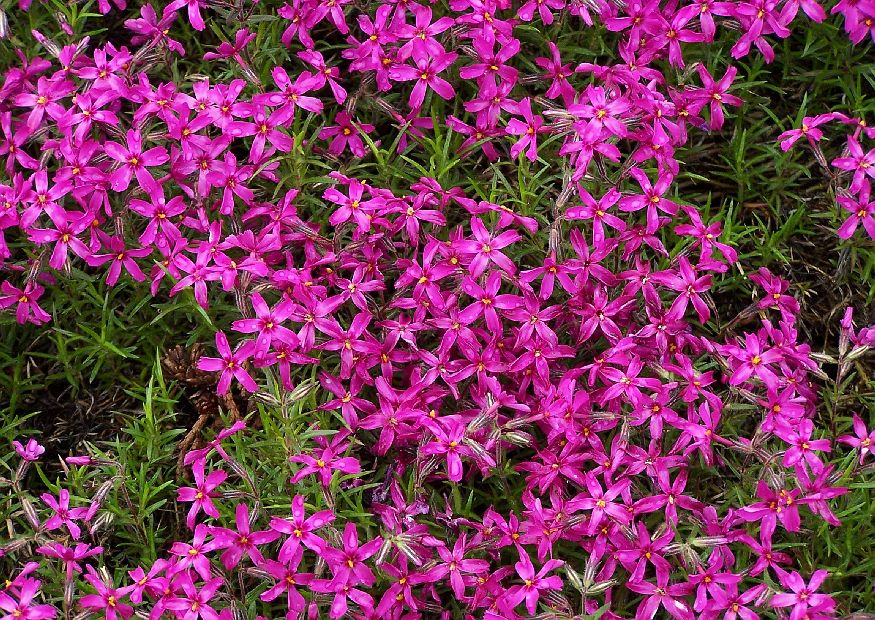 phlox subulata polsterphlox rot polsterstaude. Black Bedroom Furniture Sets. Home Design Ideas