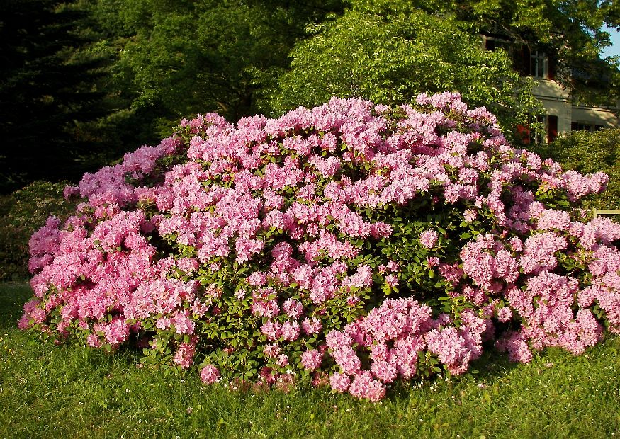 rhododendron park wachwitz 17 rhododendron catawbiense. Black Bedroom Furniture Sets. Home Design Ideas