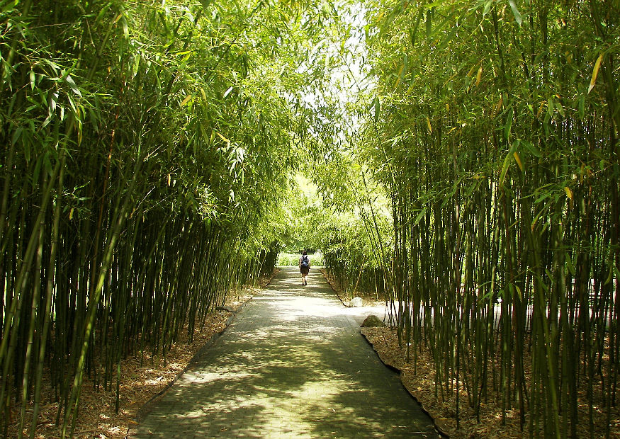 phyllostachys viridiglaucescens winterharter hoher bambus aus china jangsu. Black Bedroom Furniture Sets. Home Design Ideas
