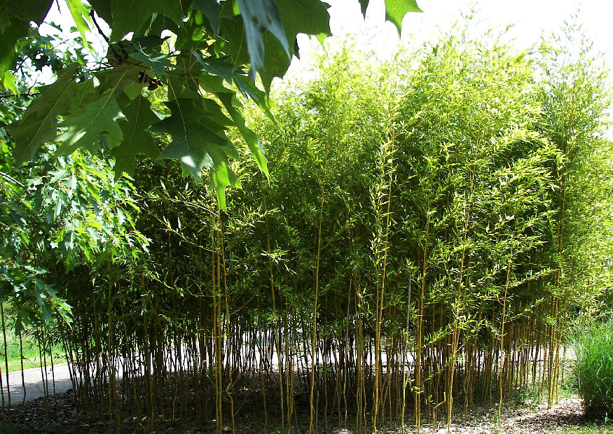 botanischer garten hamburg 065 phyllostachys aureosulacta spectabilis hoher gelber bambus aus. Black Bedroom Furniture Sets. Home Design Ideas